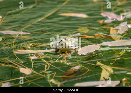 Happy frog in a pond. Frogs in a beautiful clear fresh water pond in Switzerland - Stock Photo