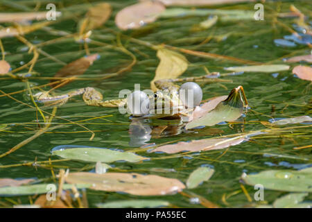 The vocal sacs of a male frog. Frogs in a beautiful clear fresh water pond in Switzerland - Stock Photo