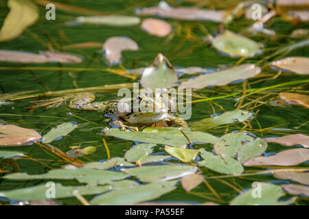 Happy male frog, testing his vocal sacs. Frogs in a beautiful clear fresh water pond in Switzerland - Stock Photo