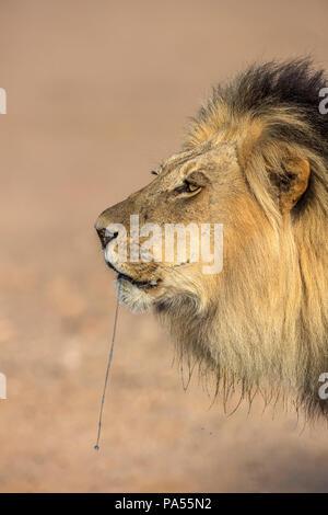 Lion (Panthera leo) male dribbling, Kgalagadi Transfrontier Park, South Africa - Stock Photo
