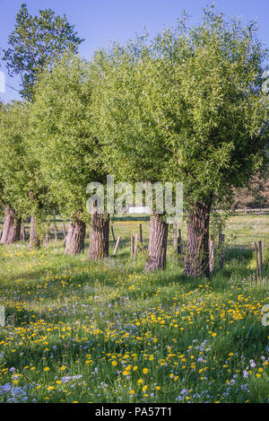 Willow trees in Wegrow County, Masovia region, Poland - Stock Photo