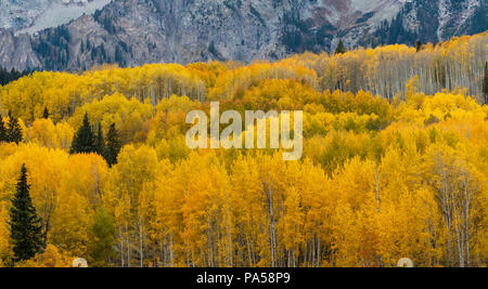 Aspen trees and autumn color along Kebler Pass in West Elk Mountains near Crested Butte, Colorado. - Stock Photo