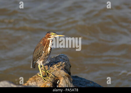 COATZACOALCOS, VER/MEXICO: A Green heron (Butorides virescens) on a rock, by the river, taking a break and waiting for something - Stock Photo