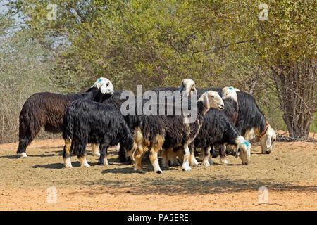 Arabian Nadji - domestic sheep breed of the Najd region of the Arabian Peninsula - Stock Photo