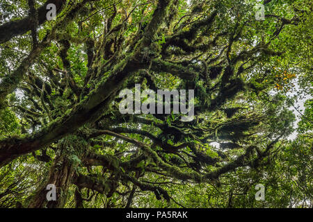 Trees covered with dense moss in rainforest, Egmont National Park, Taranaki, North Island, New Zealand - Stock Photo