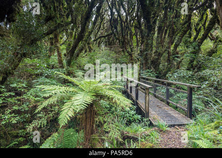 Small bridge along the path, with dense moss-covered trees in the rainforest, Tree fern (Cyatheales), Goblin Forest - Stock Photo