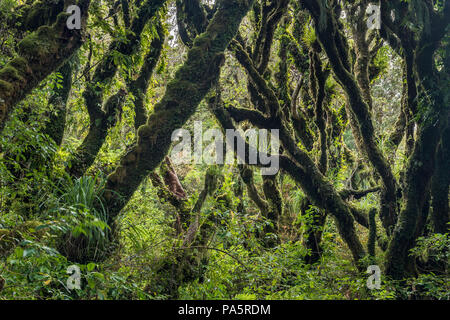 Trees covered with dense moss in rainforest, Goblin Forest, Egmont National Park, Taranaki, North Island, New Zealand - Stock Photo