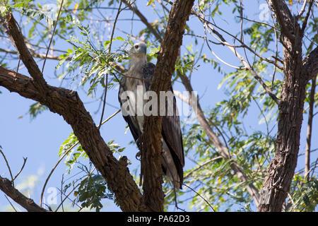 White-bellied Sea-eagle (Haliaeetus leucogaster) in the Kimberley - Stock Photo
