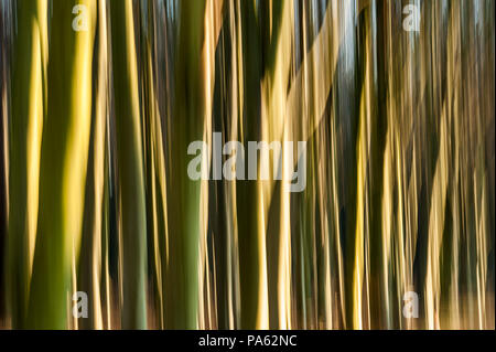22-01-15 Tyninghame Woods, North Berwick, East Lothian, Scotland, UK. Blurry, abstract trees. Photo taken with slow shutter speed and movement. Photo: - Stock Photo