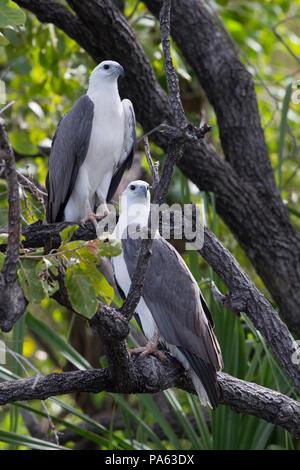 White-bellied Sea-eagle (Haliaeetus leucogaster) in the Kimberley