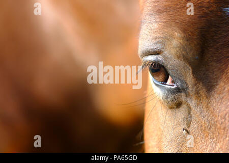 Fly drinking the tears of a horse - Stock Photo