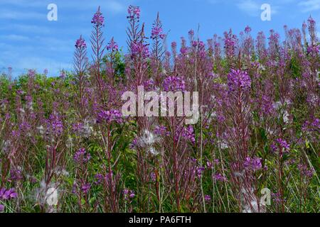 Rosebay willow herb Chamaenerion angustifolium flowers against a blue sky - Stock Photo