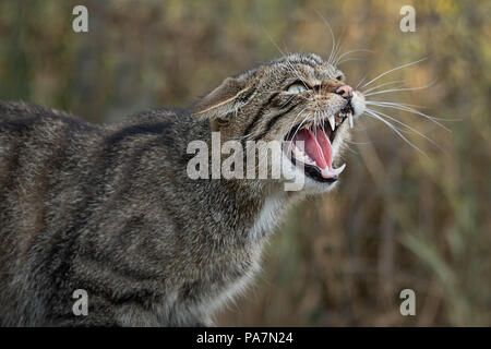 A very close up detailed portrait of a scottish wildcat snarling and showing its teeth facing right - Stock Photo