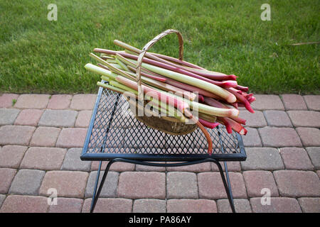 A basket full of ripe, deicious, homegrown rhubarb in a basket on a mesh table on a paver walkway - Stock Photo