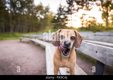 Pug Mix Dog Licking Lips Outdoors on Park Bench - Stock Photo