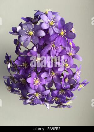 Beautiful Violets flowers isolated on white backgrounds. - Stock Photo