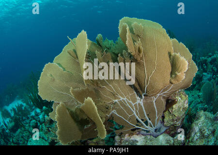 gorgonia flabellum venezuela -  los roques - Stock Photo