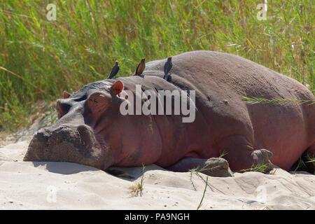 Hippopotamus (Hippopotamus amphibius) sleeping on the riverbanks of Olifants River with red-billed oxpeckers, Kruger National Park, South Africa - Stock Photo