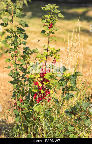 Redcurrant or red currant shrub (Ribes rubrum) a member of the genus Ribes in gooseberry family, native across western Europe - Stock Photo