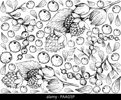 Berry Fruits, Illustration Wallpaper of Hand Drawn Sketch Delicious Fresh Golden Himalayan Raspberries or Rubus Ellipticus and Flueggea Virosa Fruits  - Stock Photo