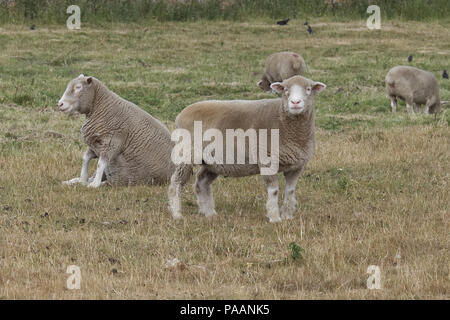 Sheep sitting down in a field relaxing - Stock Photo