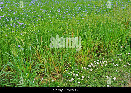 Field of Linseed in bloom.  Margins of oats, Avena fatua, and sea bindweed, Calystegia soldonella. - Stock Photo