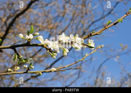 Blossom of Morello cherry.Prunus Cerasus 'Morello' - Stock Photo