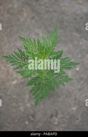 Ambrosia artemisiifolia plant - Stock Photo