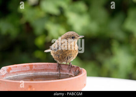Young Robin, Erithacus rubecula, standing on old terracotta clay water bowl - Stock Photo