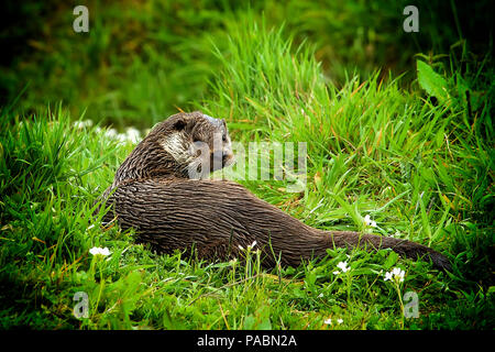 European Otter (Lutra lutra) with wet fur resting on a river bank and looking towards the camera (with vignetting) - Stock Photo