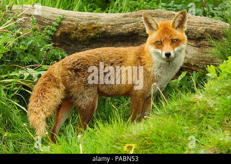 Adult European Red Fox (Vulpes vulpes) standing and looking towards the front showing the entire length of her body - Stock Photo