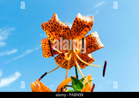 Lilium lancifolium (tiger lily) reddish-orange black-spotted flower on blue sky background. - Stock Photo