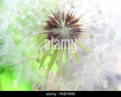 spring dandelion fuzz swelled drops