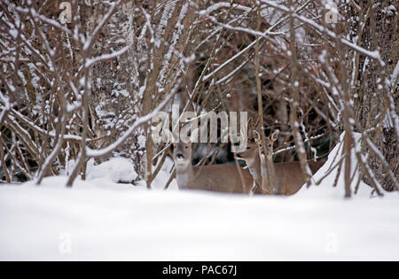 Roe Deer in the snow (Capreolus capreolus), female and male, France