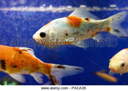 Beautiful goldfish, carp, koi fishes. Macro photography. - Stock Photo