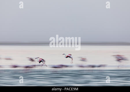 Flamingoes flying in Walvis Bay Wetland in Namibia - Stock Photo