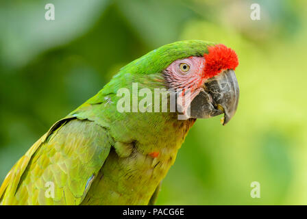 Military Macaw- Ara militaris, large beautiful green parrot from South America forests, Argentina. - Stock Photo