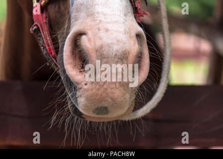 Bearded horse in barn, detail on nostrills. Its white bristles contrast against the rest of its caramel coat - Stock Photo