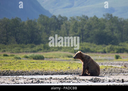 Brown Bear (Coastal Grizzly) in Katmai National Park, Alaska - Stock Photo