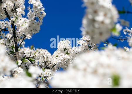 dense inflorescence of white spring cherry flowers in a fruit garden, spring features on nature, closeup against a blue sky - Stock Photo