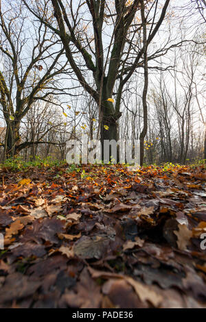 lying on the ground fallen in autumn oak foliage, part of which is light and only recently fell, part blackened and rotting, a closeup of the fall in  - Stock Photo