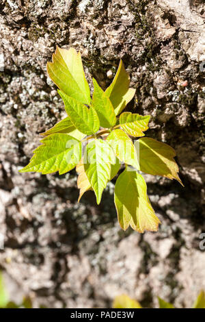 growing from a tree trunk new young branch with an ash tree, closeup in the spring - Stock Photo