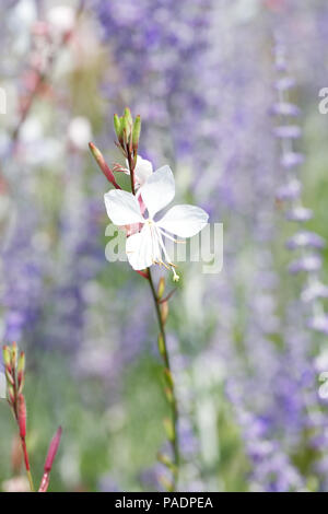 Gaura lindheimeri 'Whirling Butterflies' flower. - Stock Photo