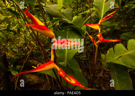 Colorful Heliconia flowers in the dense rainforest of Altos de Campana national park, Republic of Panama. - Stock Photo