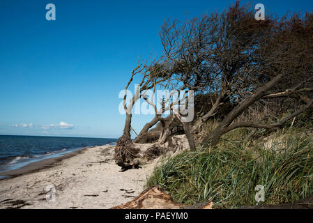 There is a sandy beach at the West coast of Darß peninsula in Northeastern Germany with lots of dead wood from the forest behind the beach. - Stock Photo