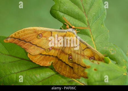 Japanese Oak Silkmoth - Antheraea yamamai, large yellow and orange moth from East Asian woodlands. - Stock Photo