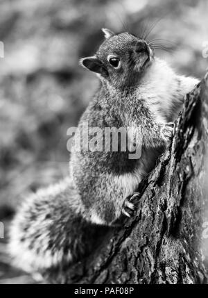 Dublin Phoenix Park  Squirrel climbing a tree, he was playing with my nerves by rotating around the tree's trunk. (Ireland) - Stock Photo