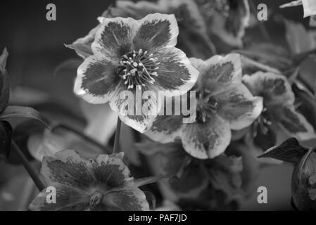Black hellebore or Helleborus niger flowering bract in monochrome - Stock Photo
