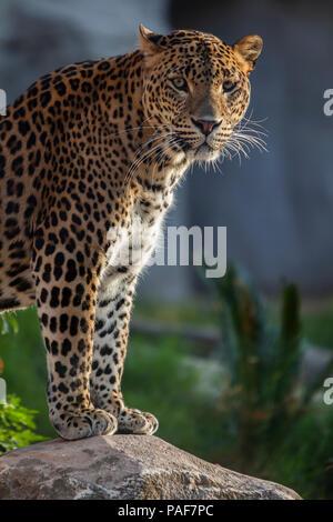 Lovely cheetah - Stock Photo