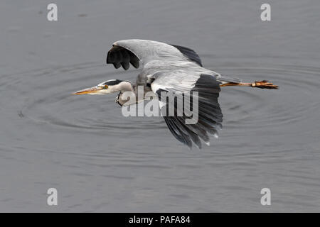 Heron in flight over Douro river, north of Portugal - Stock Photo